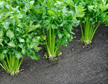 A picture of celery growing in the ground