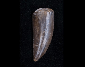 A picture of a rare Ceratosaurus tooth on FossilEra