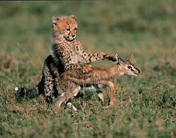 A picture of a cheetah cub with a baby gazelle