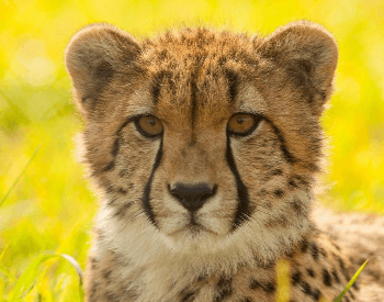 A close-up picture of a cheetah's head