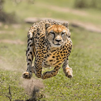 A Picture of Cheetah - Acinonyx jubatus