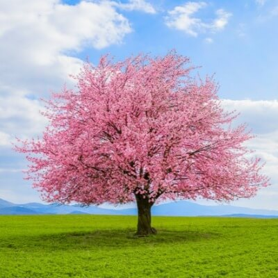 A Picture of a Cherry Blossom Tree