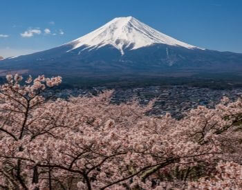 A picture of some cherry blossom trees near Mount Fuji