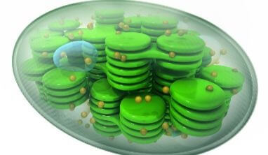 Chloroplast Facts for Kids