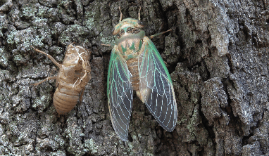 Cicada Facts for Kids