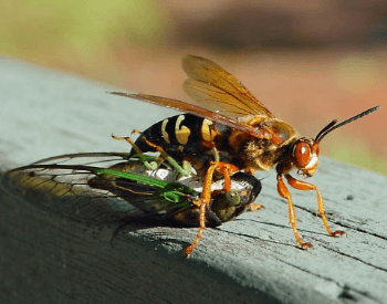A photo of a cicada killer wasp attacking a cicada