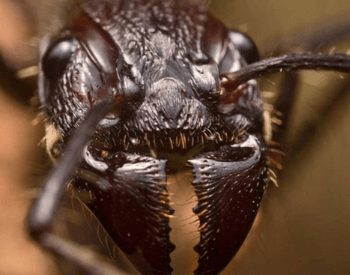 A close-up picture of a bullet ant's head