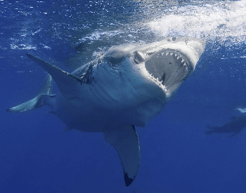 A close-up photo of a great white shark.