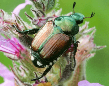 A close-up picture of a Japanese beetle