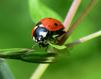 A close-up photo of a ladybug
