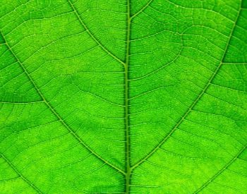 A close-up picture of a plant's leaf