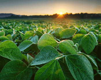 A picture of a soybean plant on a farm