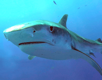 A close-up picture of a tiger shark.