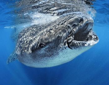 A close-up photo of a whale shark.