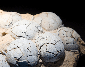 A close-up picture of a fossilized dinosaur egg