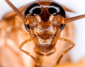A close-up picture of the head of an American Cockroach