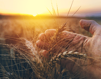 A close-up of wheat grown on a farm