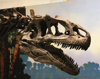 A closeup view of an Allosaurus skull