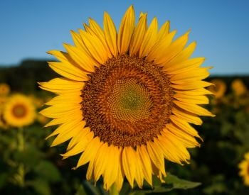 A picture showing a sunflower up close