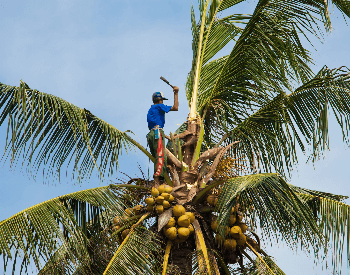A picture of coconuts being harvested
