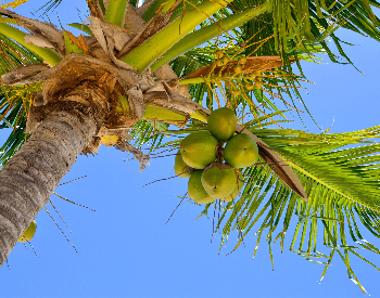A picture of coconuts on a coconut tree