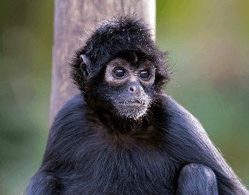 A picture a Colombian spider monkey (Ateles fusciceps rufiventris)