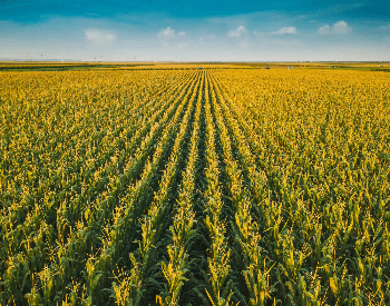 A picture of a corn field on a farm