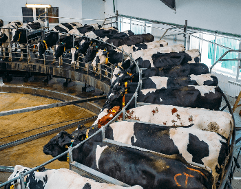 A picture of cows in a rotary milking machine