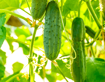 A picture of a cucumber on a cucumber plant