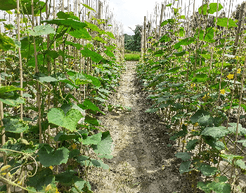 A picture of cucumbers growing on a farm