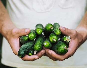 A picture of freshly harvested cucumbers
