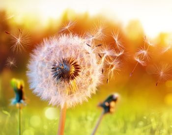 A picture of dandelion releasing seeds
