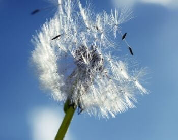 A picture of dandelion seeds in the wind