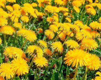 A picture of dandelions in the grass