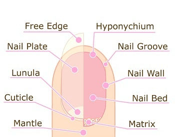 A diagram of the human fingernail