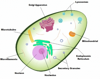 A diagram showing thecomponents and structure of a human cell