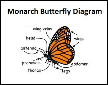 A diagram of the monarch butterfly showing all parts