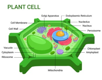A diagram of a plant cell with each part labeled