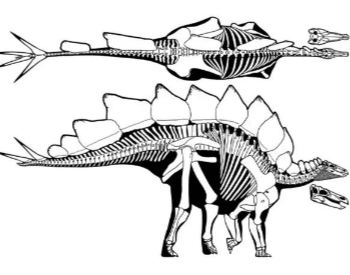 Diagram Of A Stegosaurus Skeleton
