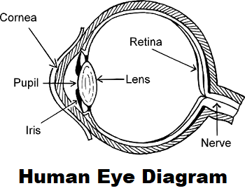 A diagram of the different parts of the human eye