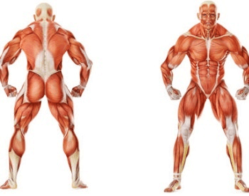A diagram of all the different human muscles
