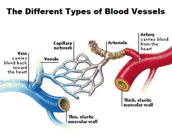 A diagram showing the all of the different types of blood vessels in the human circulatory system