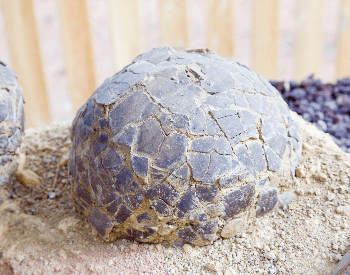 A close-up picture of a dinosaur egg found in France