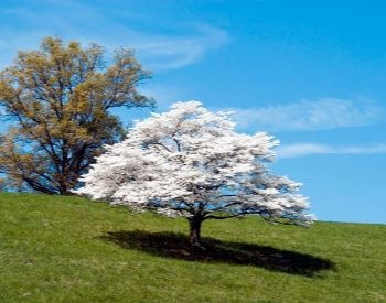 A picture of a dogwood tree in the summer
