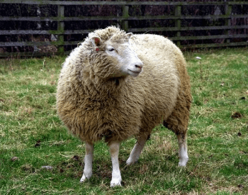 A picture of Dolly the Sheep, the first mammal to be cloned