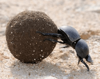 A picture of a dung beetle pushing a ball of dung