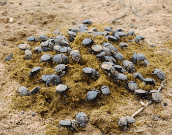 A picture of a bunch of dung beetles on dung