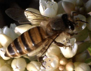 A picture of the eastern honey bee (Apis cerana)