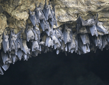 A photo of Egyptian fruit bats in a cave