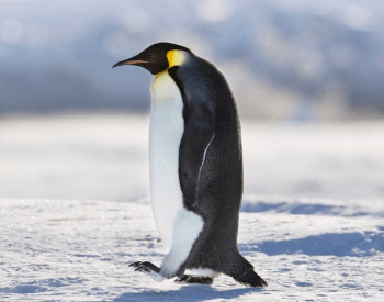A picture of an Emperor Penguin (Aptenodytes forsteri)